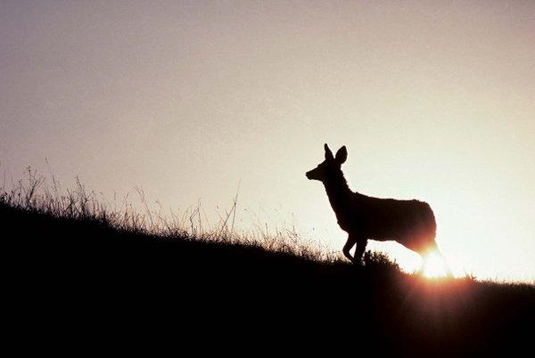 Alberta Badlands Layers of Time Female Mule Deer
