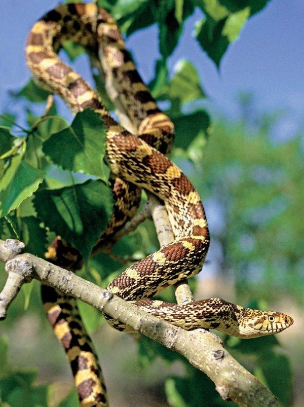Alberta Badlands Layers of time Bullsnake Climbing a Cottonwood Tree