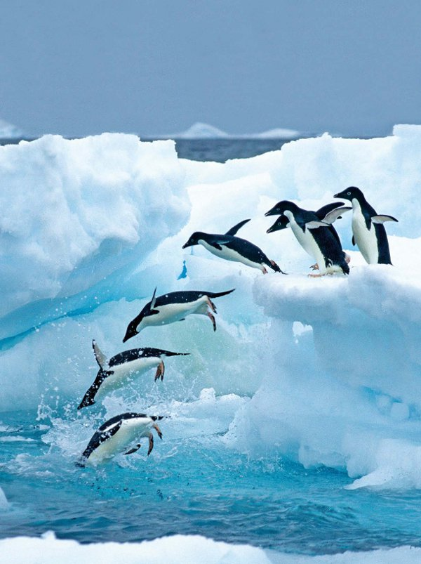 Antarctica Crystal Desert Penguins Diving off Ice