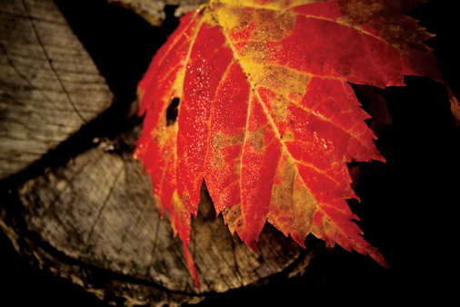 PHOTONews Autumn Flickr Contest Iconic Maple Leaf Monica de Moss Dalhousie New Brunswick