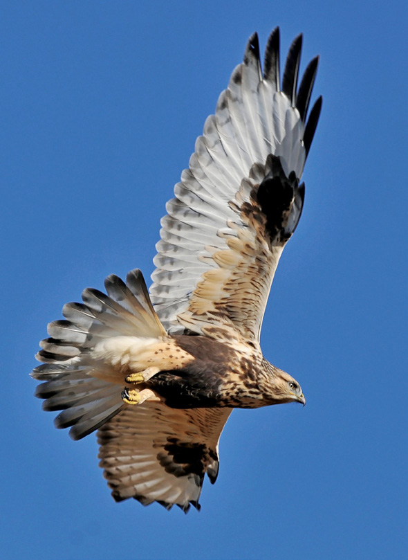 PHOTONews Reader's Gallery Spring 2011 Rough-Legged Hawk in Flight Ron Kube Calgary Alberta