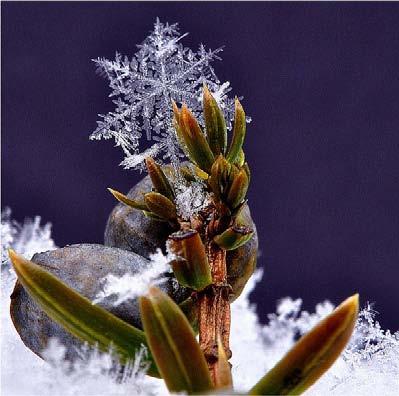 PHOTONews Reader's Gallery Spring 2011 Snowflake on a Juniper Linda Witteveen Monetville Ontario