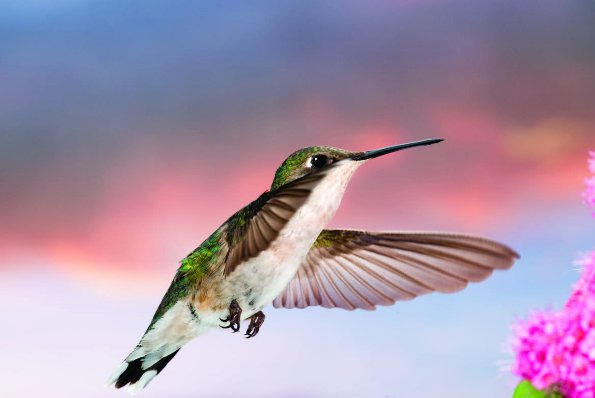 Photo Copyright Michel Roy - Hummingbird 1
