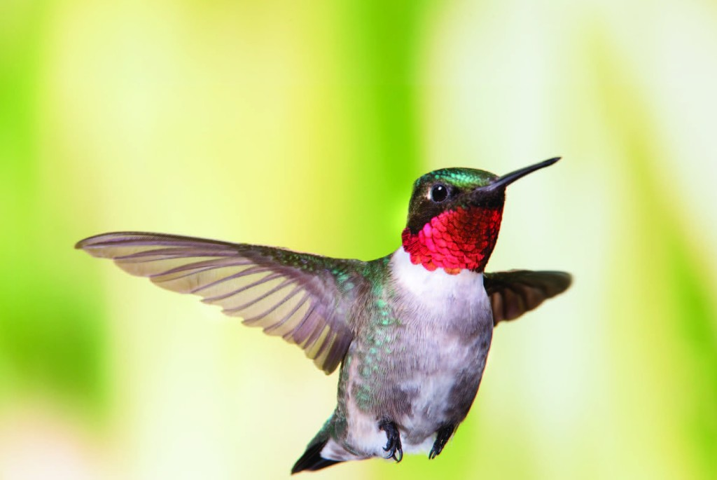 Photo Copyright Michel Roy - Hummingbird 2
