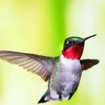 Capturing Hummingbirds in Flight by Michel Roy