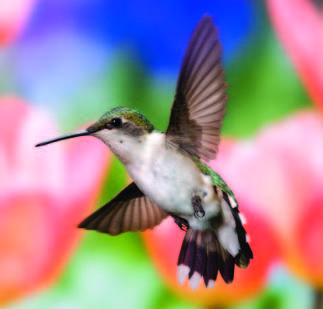 Photo Copyright Michel Roy - Hummingbird 3