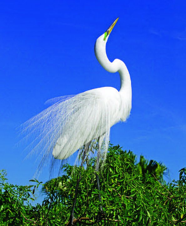 Photo Copyright Wayne Lynch - Photo Destinations Florida Great Egret