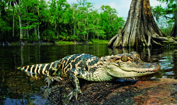 Photo Copyright Wayne Lynch - Photo Destinations Florida Juvenile American Alligator