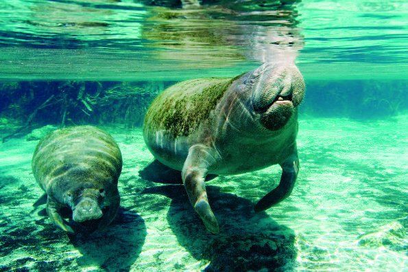 Photo Copyright Wayne Lynch - Photo Destinations Florida Manatee Pair