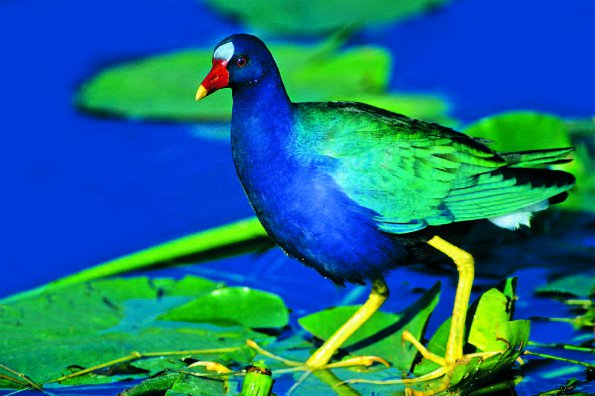 Photo Copyright Wayne Lynch - Photo Destinations Florida Purple Gallinule