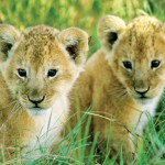 Serengeti – Wildlife Jewel of East Africa by Wayne Lynch
