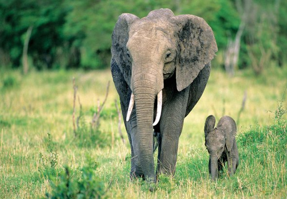 Serengeti East Africa Elephant
