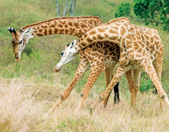 Serengeti East Africa Giraffes Fighting