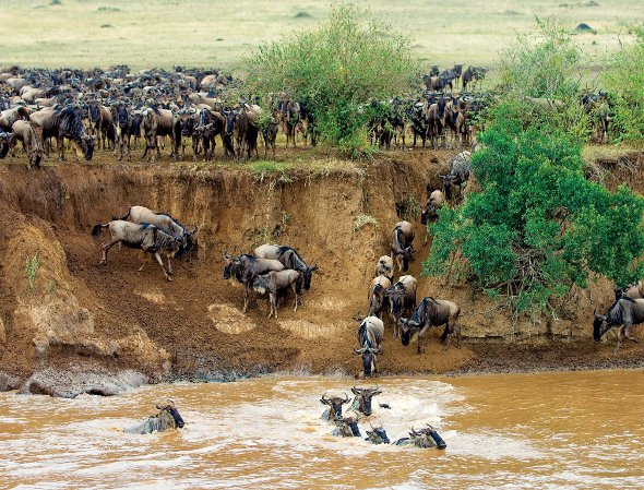 Serengeti East Africa Wildebeest River Crossing