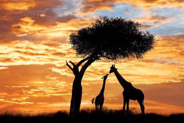 Serengeti Giraffes East Africa