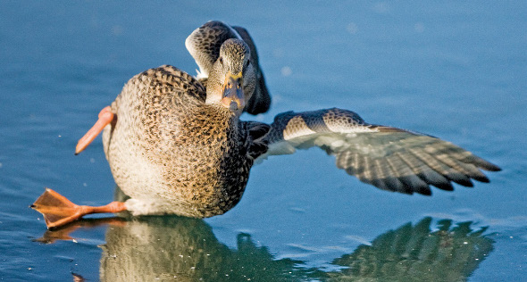 Winter Photography Duck Slipping on Ice