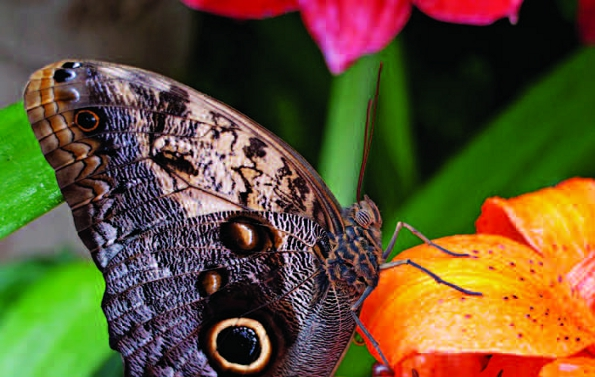 PHOTONews Autumn 2010 Reader's Gallery Emmanuel Huybrechts Butterfly on a Tiger Lily