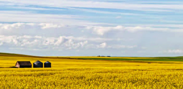 PHOTONews Autumn 2010 Reader's Gallery Lisa Couldwell Golden Canola