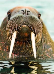 Photo Copyright Wayne Lynch - Atlantic Walrus Closeup