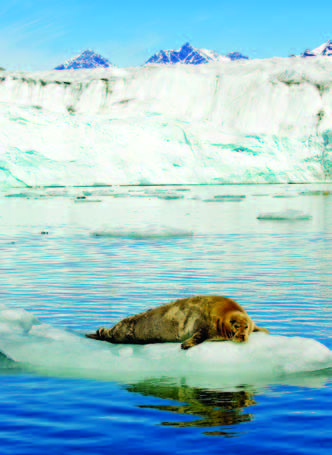 Photo Copyright Wayne Lynch - Atlantic Walrus on Ice