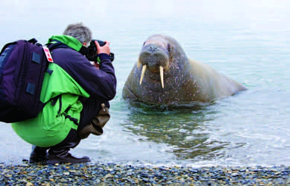 Photo Copyright Wayne Lynch - Photographing the Atlantic Walrus