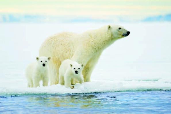 Photo Copyright Wayne Lynch - Polar Bear and Cubs