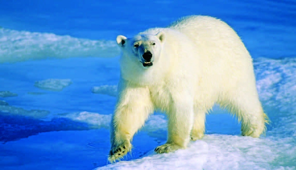 Photo Copyright Wayne Lynch - Polar Bear