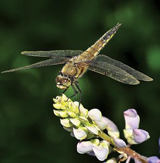 Linda Witteveen - Dragonfly - Monteville