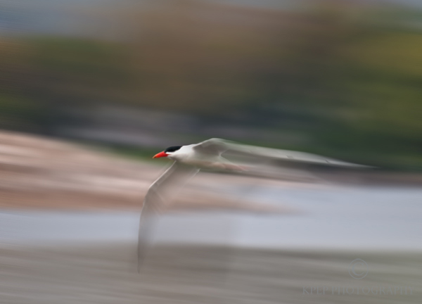 Kevin Pepper - Panning Photography - Common Tern