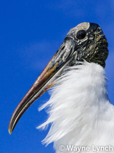 Wayne Lynch - The Pantanal - Brazil's Wildlife Paradise - American Wood Stork