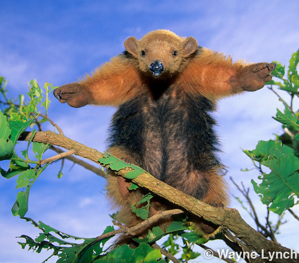Wayne Lynch - The Pantanal - Brazil's Wildlife Paradise - Collared Anteater
