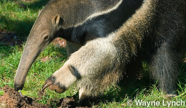Wayne Lynch - The Pantanal - Brazil's Wildlife Paradise - Giant Anteater