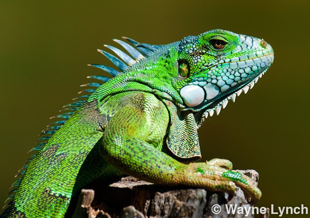 Wayne Lynch - The Pantanal - Brazil's Wildlife Paradise - Green Iguana