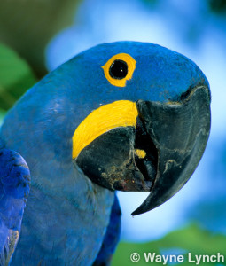 Wayne Lynch - The Pantanal - Brazil's Wildlife Paradise - Hyacinth Macaw