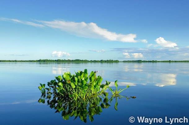 Wayne Lynch - The Pantanal - Brazil's Wildlife Paradise - Marsh