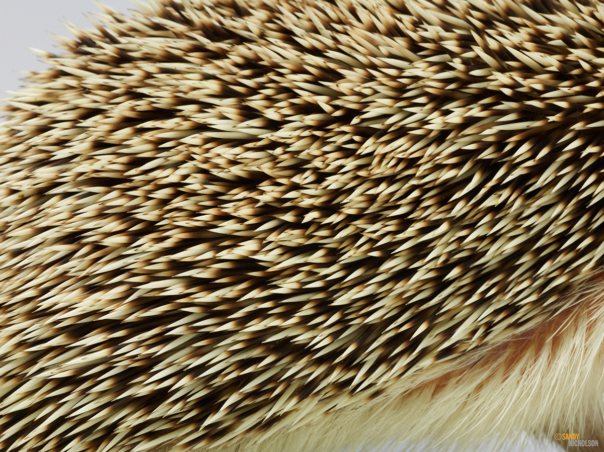 121217_ZOO_Hedgehog-2382