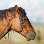 Alberta's Wild Horses – Year Of The Horse